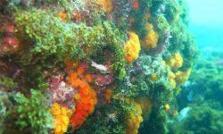 El cambio climático puede estar afectando a la distribución de los corales del Mediterráneo