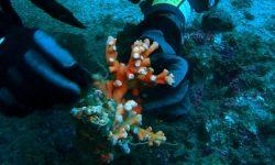 El Coral Candelabro agredido por las artes de pesca