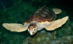 El Acuario de Sevilla recibe una tortuga marina en recuperación