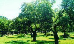 Lucha contra la seca en las dehesas andaluzas