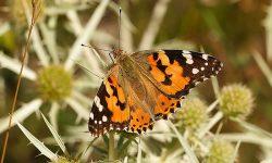 Máxima presencia en estas semanas en el Estrecho de la mariposa que migra de África a Europa