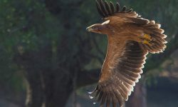Nuevo máximo histórico de la población de águila imperial en Andalucía con 112 parejas nidificantes