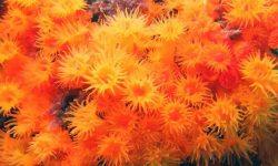 Coral naranja en Andalucía: se confirma su reproducción