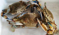 Un estudio del CSIC alerta del aumento de la llegada de crustáceos decápodos exóticos al Golfo de Cádiz