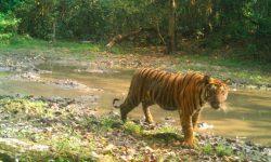 Restauración de ecosistemas y poblaciones de tigres en Bután