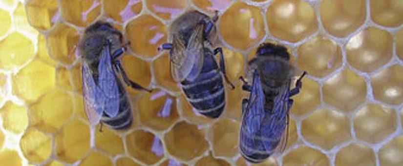 Las ayudas a la apicultura se incrementan en un 70% en la última convocatoria de la Junta